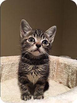 Domestic Shorthair Kitten for adoption in Wayne, New Jersey - Capricia