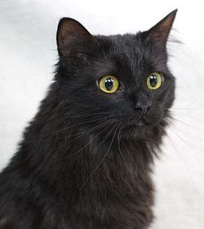 Domestic Longhair Cat for adoption in Raleigh, North Carolina - Noche