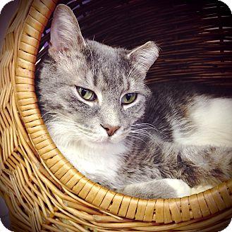 Domestic Shorthair Cat for adoption in Chicago, Illinois - Ponderosa