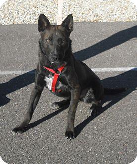 Australian Cattle Dog Mix Dog for adoption in Wickenburg, Arizona - Sparky