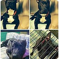 Adopt A Pet :: Tazz - Montreal, QC