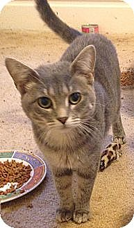 Domestic Shorthair Cat for adoption in St. Louis, Missouri - Carina