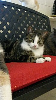 Domestic Mediumhair Cat for adoption in Bryson City, North Carolina - Mork