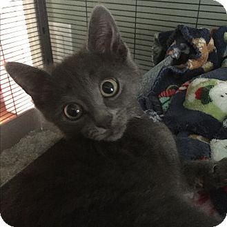 Domestic Shorthair Kitten for adoption in Bloomingburg, New York - Ralphie