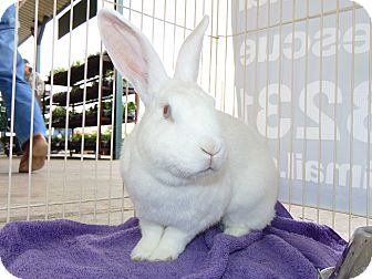 Florida White Mix for adoption in Belton, Texas - Cotton
