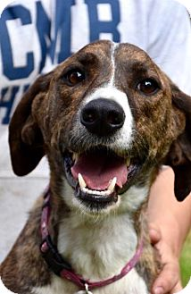 Hound (Unknown Type) Mix Dog for adoption in Danbury, Connecticut - Mia