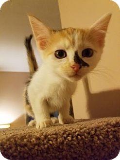Domestic Longhair Kitten for adoption in Homewood, Alabama - Lisa