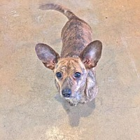 Chihuahua Mix Dog for adoption in Longview, Texas - Charlie