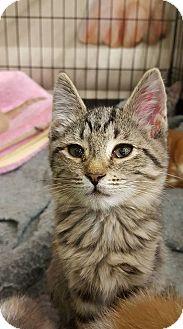 Domestic Shorthair Kitten for adoption in Bensalem, Pennsylvania - Puddles