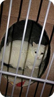Domestic Shorthair Cat for adoption in Morris, Illinois - ARIES