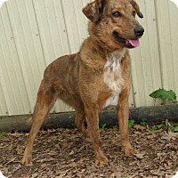 Australian Shepherd Mix Dog for adoption in Hartford, Connecticut - Mixie