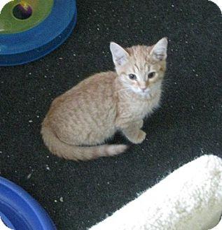 Domestic Shorthair Kitten for adoption in Irvine, California - Frosty