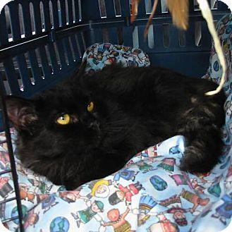 Domestic Longhair Cat for adoption in Midvale, Utah - Dorothy