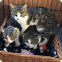 Adopt A Pet :: white gray tabby kitten male - Manasquan, NJ