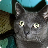 Russian Blue Cat for adoption in Durham, North Carolina - Ted Talks!