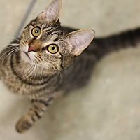 Adopt A Pet :: Lady Catelyn - Astoria, NY