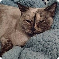 Siamese Cat for adoption in Locust, North Carolina - Opal