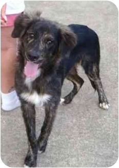 Australian Shepherd Mix Puppy for adoption in Orlando, Florida - Toby