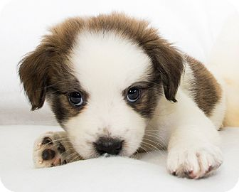 Terrier (Unknown Type, Medium) Mix Puppy for adoption in Cumberland, Maryland - Zirc