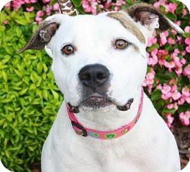 American Pit Bull Terrier Mix Dog for adoption in Atlanta, Georgia - Cher