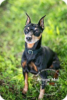 Miniature Pinscher Dog for adoption in Myersville, Maryland - Chico