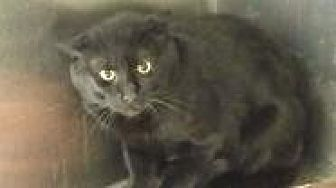 Siamese Cat for adoption in Cleveland, Ohio - Shadow