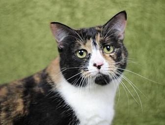 Domestic Shorthair Cat for adoption in Raleigh, North Carolina - Mimi K