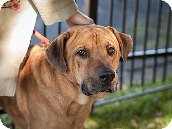 Shar Pei Mix Dog for adoption in Dallas, Texas - Bear