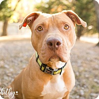 American Pit Bull Terrier Dog for adoption in Columbia, Tennessee - Copper