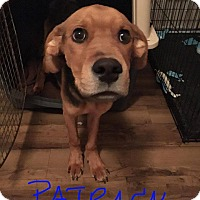 Adopt A Pet :: Patrick - Bernardston, MA