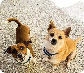 Corgi Mix Dog for adoption in St. Petersburg, Florida - Foxy
