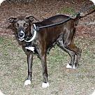 Adopt A Pet :: Starlett