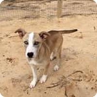 Adopt A Pet :: Star - Rexford, NY