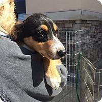 Adopt A Pet :: Angie - Hohenwald, TN