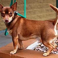 Adopt A Pet :: Fireball - Gilbert, AZ