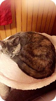Calico Cat for adoption in Taylor, Michigan - Charlie