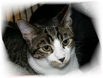 Domestic Shorthair Cat for adoption in Montgomery, Illinois - Dillon