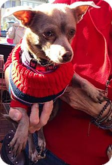 Chihuahua Mix Dog for adoption in San Diego, California - Sweet Pea