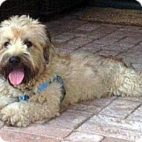 Adopt A Pet :: RILEY - Mission Viejo, CA