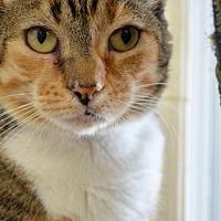 Adopt A Pet :: Gigi - Griswold, CT