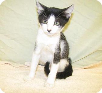 Domestic Shorthair Kitten for adoption in Oxford, Mississippi - Clover