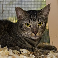 Domestic Shorthair Cat for adoption in BROOKSVILLE, Florida - Norah