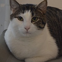 Domestic Shorthair Cat for adoption in Geneseo, Illinois - Maui