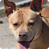 American Pit Bull Terrier Mix Dog for adoption in New Haven, Connecticut - CINNAMON