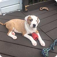 Adopt A Pet :: Fudge - Westminster, MD