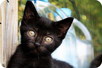 Bombay Kitten for adoption in Manhattan, Kansas - Skylar