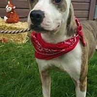 American Pit Bull Terrier Mix Dog for adoption in Ashtabula, Ohio - Titan