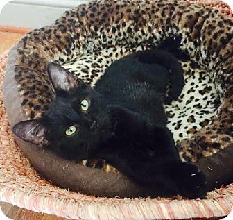 Domestic Shorthair Kitten for adoption in Burlington, North Carolina - PEPPER
