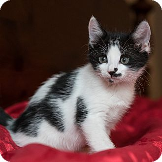 Domestic Shorthair Kitten for adoption in Houston, Texas - Prudie
