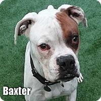 Adopt A Pet :: Baxter - Encino, CA